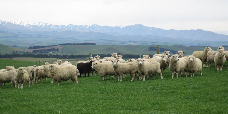 Challenge Sheep Farm