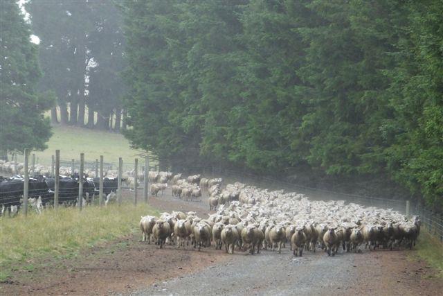 Glencoe-Farm-lamb-track